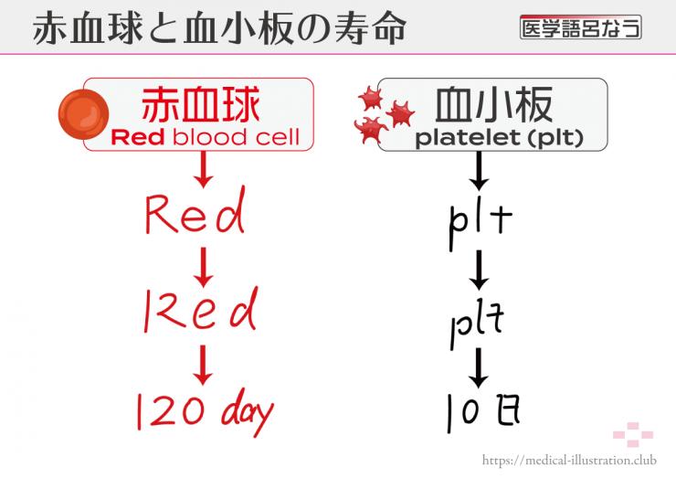 血球の寿命